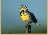 Bird_westmeadowlark_2